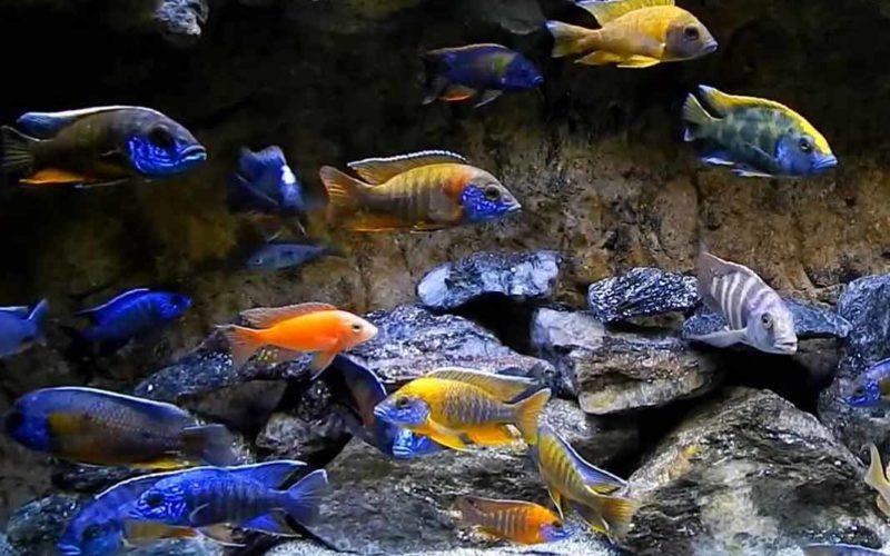 Cichild Fish Sagar Fish Aquarium